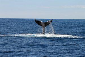 Wieloryb przeniósł 1,3 mld dolarów w BTC w 3 transakcjach